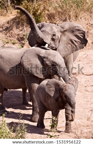 An elephant cow sniffs the air for possible danger as the rest of the breed herd drink from a hole in the dry sandy riverbed #1531956122
