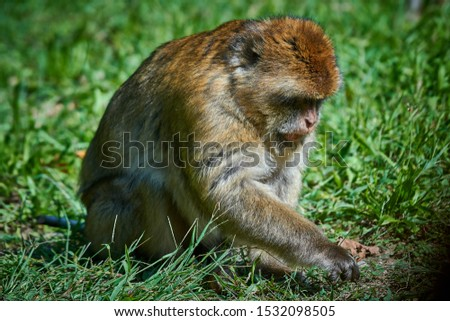 A close up of a Barbary Macaque #1532098505
