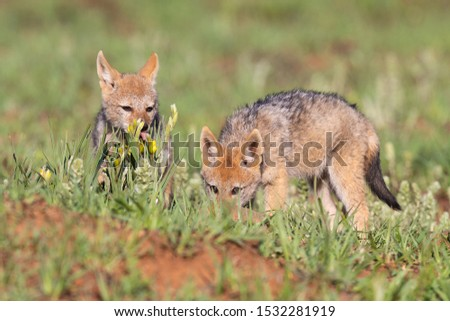 Two Black Backed Jackal puppies play in short green grass to develop their skills #1532281919