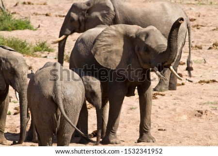 An elephant cow sniffs the air for possible danger as the rest of the breed herd drink from a hole in the dry sandy riverbed #1532341952