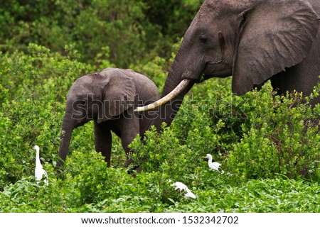 A cow and calf browse contentedly on the dense vegetation that line the lakes in Selous Game Reserve, an area of dense vegetation that offers them some protection from the intense poaching. #1532342702