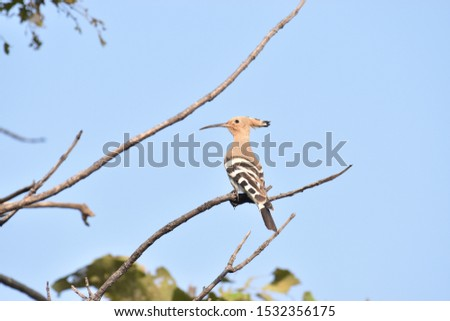 Crown feathered, brown upper part with black and white stripes on the feathers Eurasian Hoopoe bird (Upupa Epops) perching on branch sighted at Panna National Park, Madhya Pradesh, India, Asia #1532356175