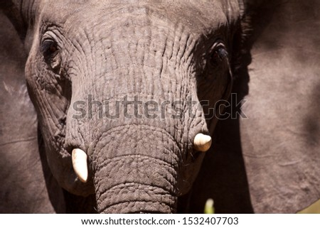 The texture of the skin of a cow elephant is emphasised by the late afternoon light #1532407703
