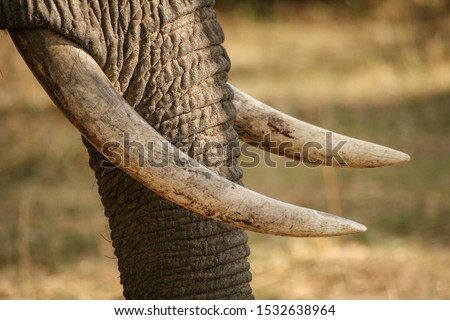 Closeup of African elephant trunk and ivory tusks in South Luangwa National Park, Zambia Royalty-Free Stock Photo #1532638964
