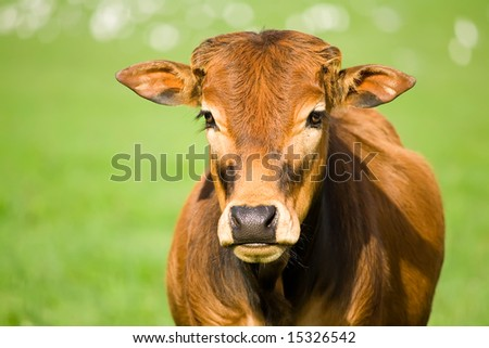 portrait of a cute zebu calf #15326542