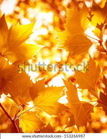 Abstract foliage background, beautiful tree branch in autumnal forest, bright warm sun light, orange dry maple leaves, autumn season  #153266987