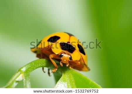 Macro yellow ladybug in nature green background