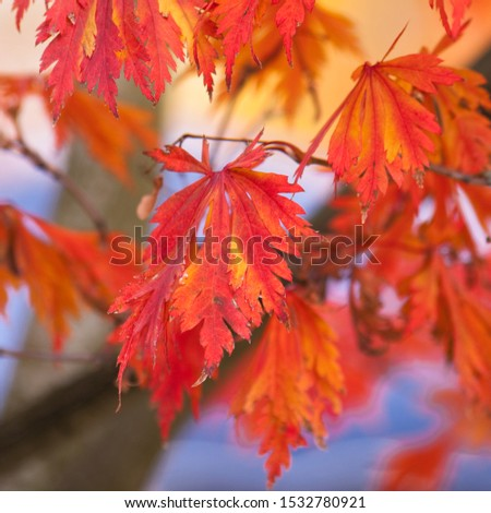 Autumn colors of the maple tree #1532780921