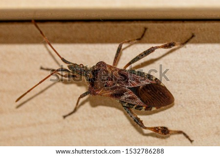 Western Conifer Seed Bug Coreoides Leatherbugs, Coreidae Leaf-footed Bugs, Coreinae Anisoscelini Leptoglossus occidentalis Royalty-Free Stock Photo #1532786288