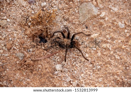 I believe this is a male Tarantula checking the hole in the ground that could have a female Tarantula inside.  The Tarantula hole has a web over it which means the Tarantula is inside.  #1532813999