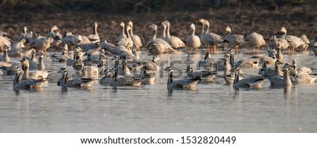 Bar-headed Goose, enjoying cold water of Head Marala, Sialkot, Pakistan. #1532820449