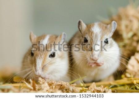 Mongolian gerbils (Meriones) as pets