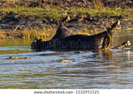 Large crocodiles gather around the bloating carcass of a buffalo bull that was drowned several days earlier and has now softened enough for them to tear it apart #1532951525