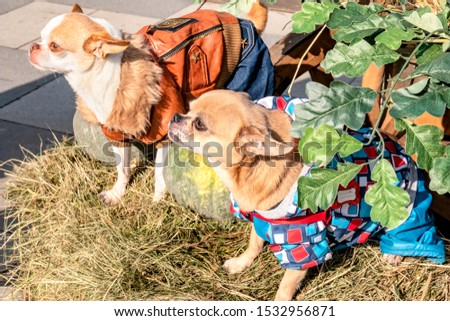 Two doggies of chihuahua breed on a straw among vegetables #1532956871