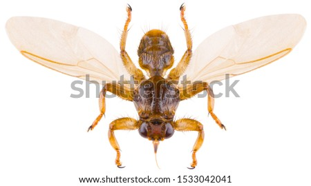 Lipoptena cervi, the deer ked or deer fly, is a species of biting fly in the family of louse flies, Hippoboscidae isolated on white background. Dorsal view of deer fly. #1533042041