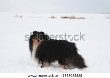 Young funny sheltie plays in the snow, young dog plays in the snow #1533065525