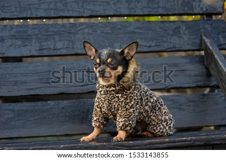 Chihuahua is sitting on the bench.chihuahua dog in clothes standing and facing the camera. chihuahua has a cheeky look. The dog walks in the park. Black-brown-white color of chihuahua in the fall #1533143855