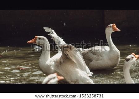 Duck Quack wildlife pics animals birds