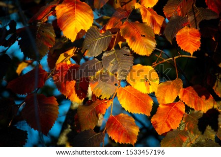 colorful autumn leaves on a tree. yellow red leaves. #1533457196