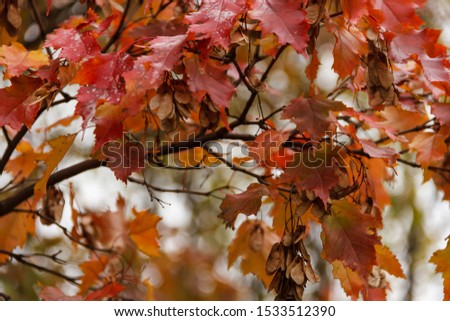 Beautiful autumn ornament, colorful maple leaves shot close-up. Fall harvest concept. #1533512390