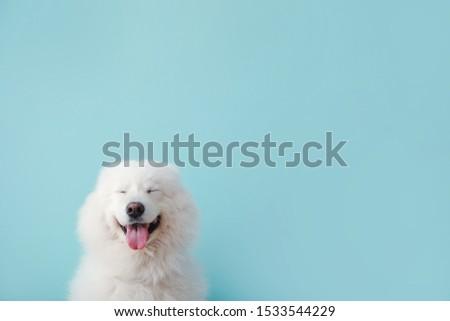 Cute Samoyed dog on color background