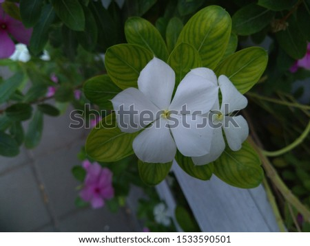 Catharanthus roseus,commonly known as the Madagascar periwinkle, rose periwinkle, or rosy periwinkle. #1533590501
