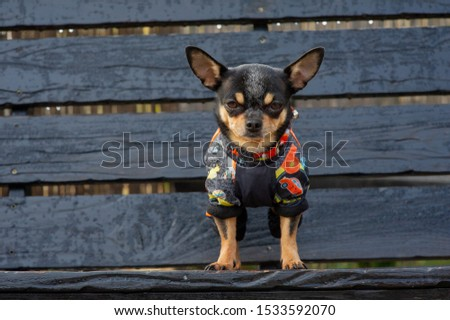 Chihuahua is sitting on the bench.chihuahua dog in clothes standing and facing the camera. chihuahua has a cheeky look. The dog walks in the park. Black-brown-white color of chihuahua in the fall #1533592070