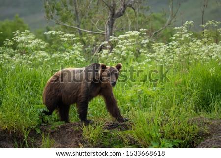 Ruling the landscape, brown bears of Kamchatka (Ursus arctos beringianus) #1533668618