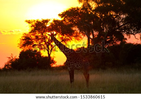 A Maasai Giraffe is silhouetted against the gloden glow of sunset in front of the Katavi Wildlife Camp in the far west of Tanzania and marks the western limit of their range. #1533860615