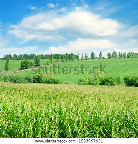 Green corn field and bright blue sky. Agricultural landscape. #1533967631