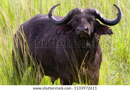 Solitary Cape Buffalo bulls are often unpredicatble and considered on the Africa's most notorious and dangerous members of the Big Five #1533972611