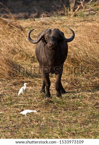 An old bull Cape Buffalo, one of the most respected of the Big Five for it's unpredictability #1533973109