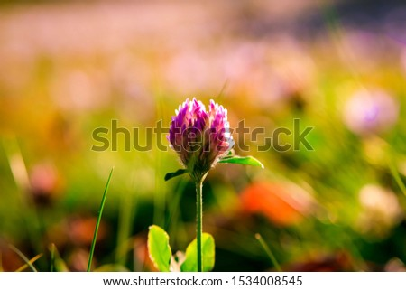 Flowering beautiful red clover in meadow at sunset. #1534008545