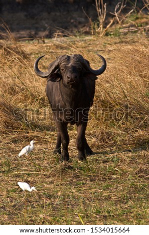 A Cape Buffalo Bull stares at the vehicle warily as he makes his way towards the Katuma River to drink, an area he has to be alert for posssible attack from predators #1534015664
