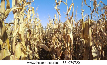 Steady walk along path between rows of fresh maize, corn or mealie plants growing in an agricultural field #1534070720