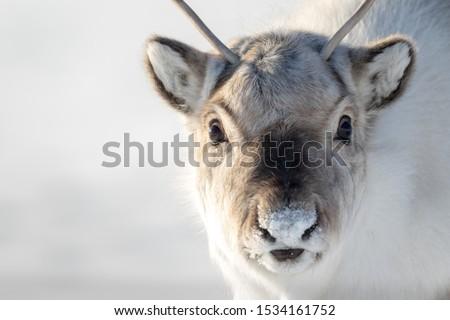 Wild Svalbard Reindeer, Rangifer tarandus platyrhynchus, portrait of a curios animal with small antlers in Svalbard, Norway. Royalty-Free Stock Photo #1534161752