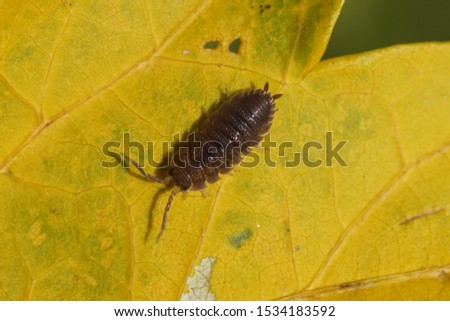 A rough woodlouse (Porcellio scaber) on a yellow leaf. Photo: Bergen, Netherlands, October 17, 2019.                              #1534183592