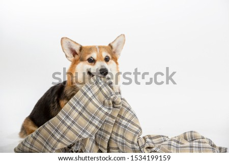 Funny dog picture. Welsh corgi pulling and dragging blanket. Isolated on white, copy space.