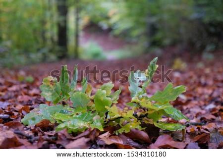 Oak twig with autumn leaves on a forest path. Quercus robur, common oak, pedunculate oak, European oak. #1534310180
