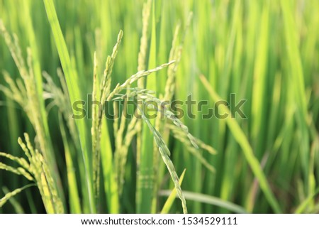 Rice green field and paddy rice for natural background. #1534529111