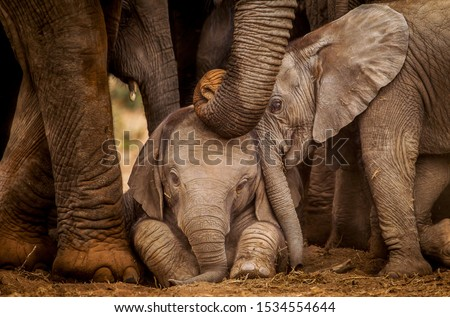 Two baby elephants interact whist an adult gently touches them her trunk.   Elephants are known for their strong family bonds and caring by and for every member of the herd.  #1534554644