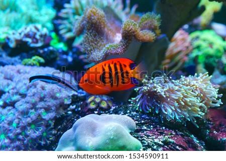 Flame Angelfish, Flame Angel Fish, Flame Angel Or Centropyge Loricula Swimming In Aquarium. #1534590911