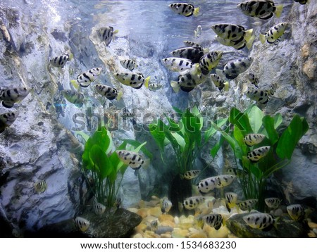 this pic show a lot of archer fish swim and motion in aquarium