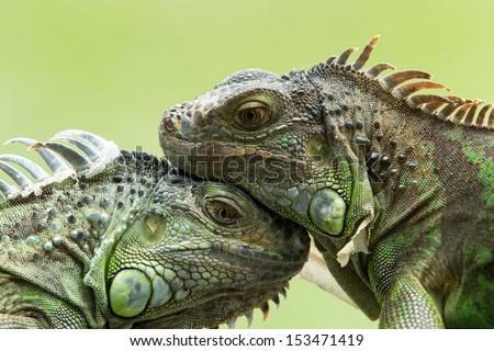Green iguana on tree branch Royalty-Free Stock Photo #153471419