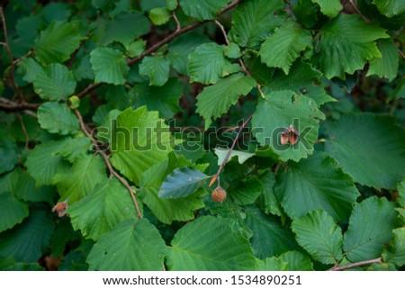 Beech nut case resting on hazelnut leaf in woodland #1534890251