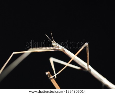 stick insect. twig insect. Stick insects make rhythmic, repetitive side-to-side movements. This is like vegetation moving in the wind. #1534905014