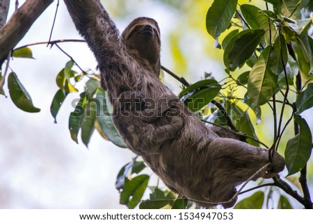 Brown throated sloth photographed in Linhares, Espirito Santo. Southeast of Brazil. Atlantic Forest Biome. Picture made in 2013.