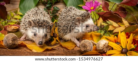 Four-toed Hedgehog in a funny autumnal picture