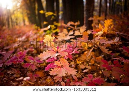 northern red oak or champion oak, is an oak in the red oak group  #1535003312