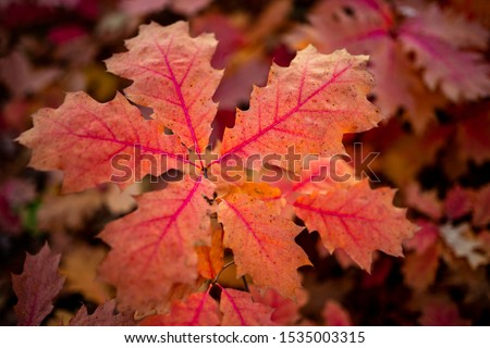 Quercus rubra, commonly called northernred oakor championoak, is anoakin thered oakgroup #1535003315